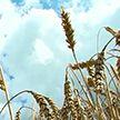 Несмотря на жару белорусские аграрии идут на рекорд: 2 тысячи тонн зерна намолотил первый комбайнер в Витебской области