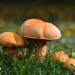 Двое мужчин отравились грибами и умерли в Добрушском районе