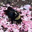 Видео: муравьи обложили умершего шмеля лепестками цветов