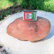 В Браславе вырастили гигантскую картофелину