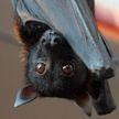Ученые объяснили, почему человек может заразиться смертельным вирусом от летучих мышей