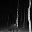В Беловежской пуще вновь замечены бурые медведи