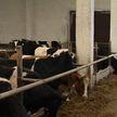 Коров кормили одним силосом. Из-за чего рекордно упали надои на ферме в в Гомельской области