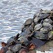 Все на борт! Десятки черепах бесплатно прокатились на бегемоте в Южной Африке