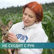У белорусов появился свой Бэмби. Детеныша косули нашли со сломанной ногой, но это сказка со счастливым концом
