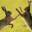 В Таллине на дороге зайцы устроили драку (ВИДЕО)