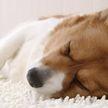 Стальные нервы: собаку не смог разбудить робот-пылесос