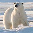 Белый медведь и собака играют в догонялки на Аляске (Видео)