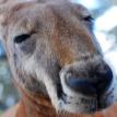 Пятилетний мальчик спас сестру от агрессивного кенгуру и получил травмы