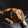 Видео, которое рассмешит вас до слез: пес попросил хозяина освободить диван и манерно улегся на него
