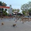 В Таиланде сотни обезьян выбежали на улицы в поисках еды (ВИДЕО)