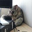 Опоссум разгромил офис, испугался и спрятался за компьютером