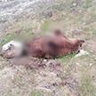 Тела убитых медведей без лап находят в Магаданской области