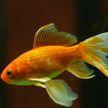 Золотая рыбка Джордж побила рекорд по продолжительности жизни, прожив 44 года