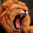 Женщина забралась в вольер и подразнила льва (ФОТО и ВИДЕО)