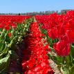 В Нидерландах цветочные фермы сделали для туристов необычное послание из тюльпанов