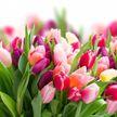 Более 50 тысяч тюльпанов вырастили к Международному женскому дню в Гродно