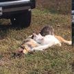 Посмотрите, как заботливая собака кормит молоком четырех котят. Это очень мило! (ВИДЕО)