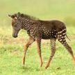Когда даже животные знают о модных трендах: в Кении нашли детёныша зебры со шкурой в горошек