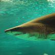 СМИ: мужчина погиб в результате нападения акулы у берегов Австралии