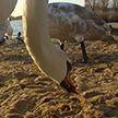 В Могилеве на заливе реки Днепр появились лебеди. Специалисты просят горожан их не кормить