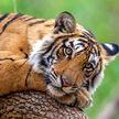 В Индии тигр забрался в дом и уснул в постели местного жителя