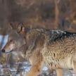«Часть загрызли, остальных утащили в лес»: стая волков атакует деревню в Гомельском районе