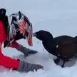 Глухарь-задира нападает на туристов в Красноярском крае (ВИДЕО)