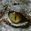 Четырехметрового крокодила-людоеда поймали после нападения на рыбака