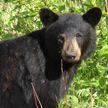 Медведь погнался за велосипедистом и попал на видео