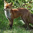 Бешеная лиса напала на домашних животных в Лунинце: в городе объявлен карантин
