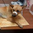Собаку с травмами нашли возле многоэтажки в Гродно: милиция ищет виновных