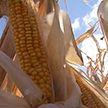 В Гомельской области приступили к севу кукурузы. Почему эта культура – стратегическая?