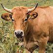 Девушка напугала коров своим танцем – видео стало хитом в соцсетях