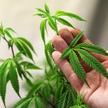 Садовод и ботаник: парень выращивал марихуану вместо свежих овощей