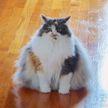 «Не котики, а бегемотики!»: 10 фотографий огромных котов, которые удивят вас своими размерами