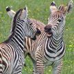 Ученые предложили новое объяснение полосам на шкурах зебр