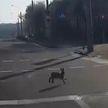 Собака гналась за зайцем по дорогам в центре Минска (ВИДЕО)
