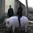 Свиней размером с белых медведей выращивают китайские фермеры