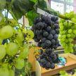 Выставка винограда проходит в Гродно: от «Мечты» и «Фантазии» до «Песни» и «Восторга»