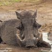 В заповеднике Ботсваны живут настоящие Тимон и Пумба. Они обожают валяться в грязи, а мангуст постоянно катается на спине своего друга