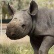 Сам виноват: детёныш носорога укусил туриста за палец