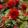 В Минске появится ещё один розарий