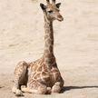 На Бали жирафа, родившегося во время пандемии, назвали Корона