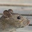 В доме по улице Притыцкого поселились крысы. Коммунальщики о проблеме знают, но справиться с грызунами не могут