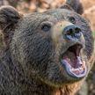 В России медведь загрыз 50-летнюю женщину