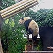 Ниндзя-панда показала акробатическое шоу