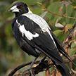 В Австралии мужчина умер после нападения вороны-свистуна