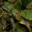 Незаконно: в аэропорту Куала-Лумпур обнаружили более пяти тысяч черепах