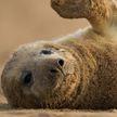 138 детенышей тюленей обнаружили ученые в устье Темзы